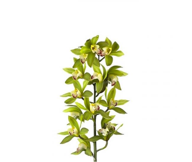 Orchid e cymbidium vert pas ch re livraison fleurs for Fleur pas chere a planter