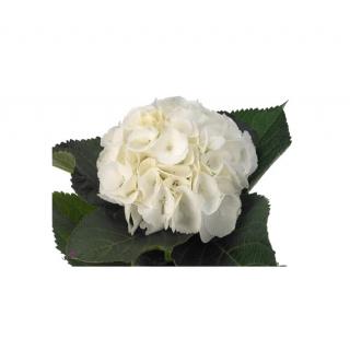 Hortensia blanc (5 tiges) - France Fleurs