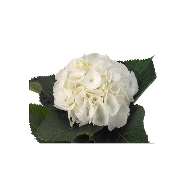 3c2aad3463b1 Hortensia blanc - livraison fleurs Mariage - France Fleurs