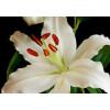 Lys oriental (1m x10 tiges) - France Fleurs