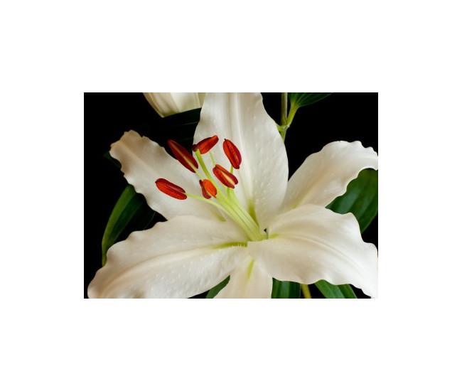 Lys oriental blanc livraison fleur mariage france fleurs for France fleurs