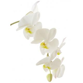 Phalaenopsis blanc - France Fleurs