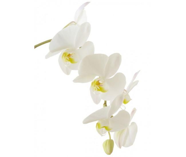 Fleurons d 39 orchid e phalaenopsis livraison orchid e for France fleurs