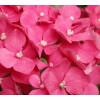 Hortensia fushia - France Fleurs
