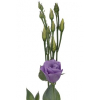 Lisianthus parme (10 tiges)
