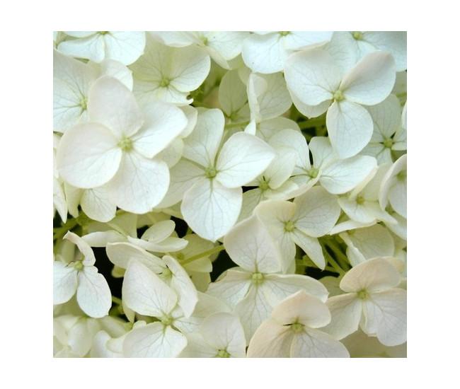 hortensia blanc - livraison fleurs mariage - france fleurs