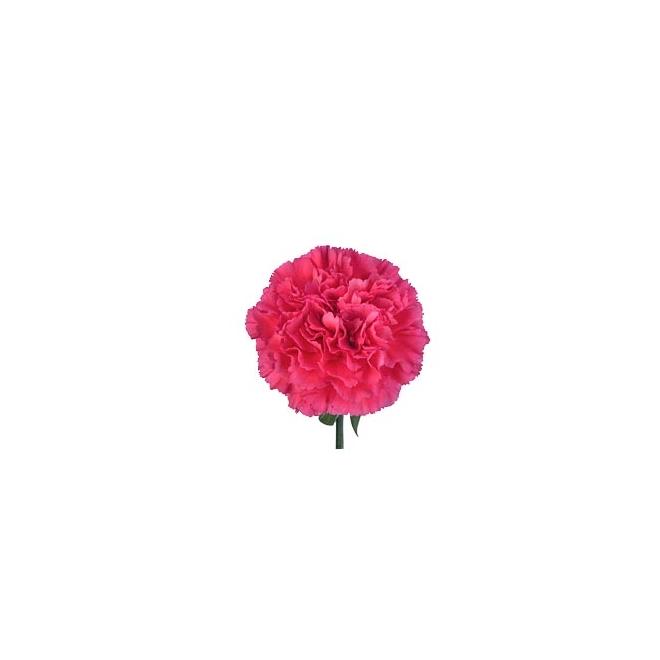 Oeillet sims fushia - fleur coupée