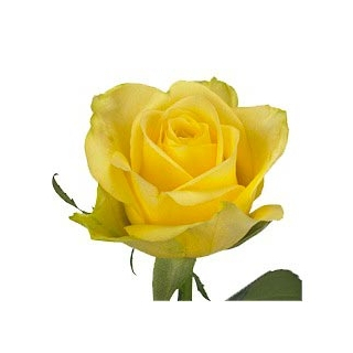 Rose Jaune (20 tiges)