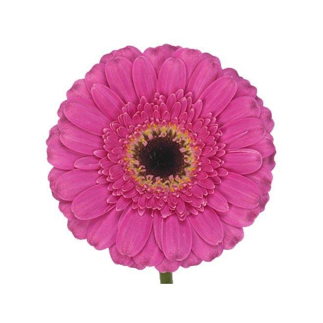Germini fushia livraison fleurs coup es france fleurs for France fleurs