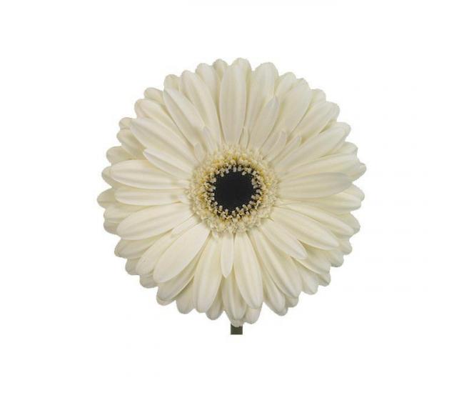germini blanc livraison fleurs coup es france fleurs. Black Bedroom Furniture Sets. Home Design Ideas