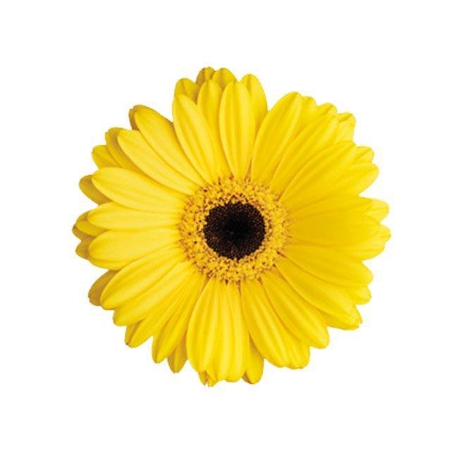 Germini jaune (10 tiges) - Livraison fleurs coupées - France Fleurs