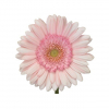 Germini rose pâle (10 tiges) - livraison fleurs coupées - France Fleurs