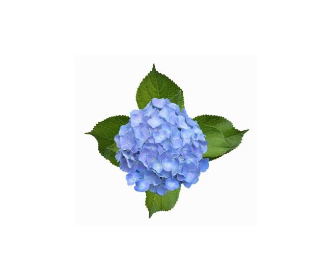 Hortensia bleu livraison fleurs mariage france fleurs - Terre pour hortensia bleu ...
