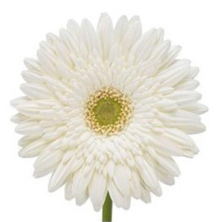 Gerbera blanc (15 tiges)