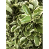 Pittosporum (botte de 100gr.) - feuillage