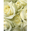Rose Avalanche 40cm (20 tiges) - Rose Ivoire