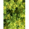 Bupleurum (10 tiges) Branche de fleurs de coton - France Fleurs