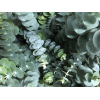 Eucalyptus baby blue (200 gr.) - gros plan feuillage
