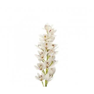 Orchidée cymbidium blanc - France Fleurs