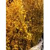 Broom Bloom séché jaune (environ 100gr.)