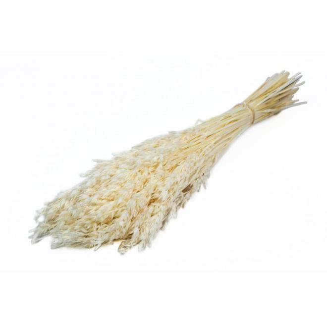 Avoine séchée blanche (botte de 100gr)