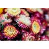 Hélichrysum séché naturel (env 80g)