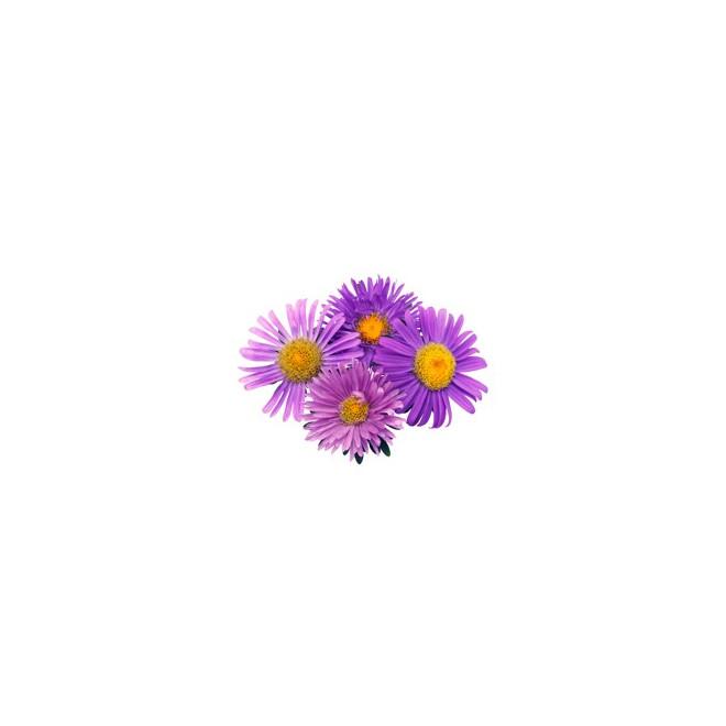 Aster- France Fleurs