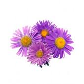 Aster violet  (5 tiges)