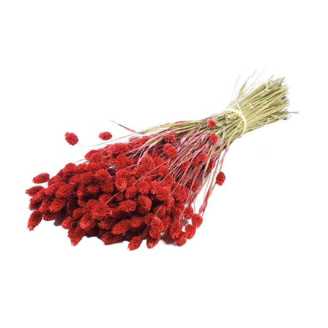 Phalaris rouge (botte de 200gr)