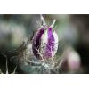 Nigelle séchée (100gr)