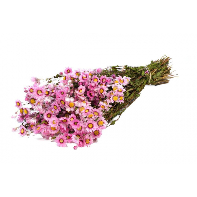 Rhodanthe rose (botte de 75gr)