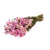Rhodanthe rose (botte de 75gr)