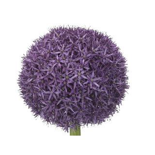 Allium (5 tiges)