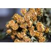 Rose branchue séchée jaune (10 tiges)