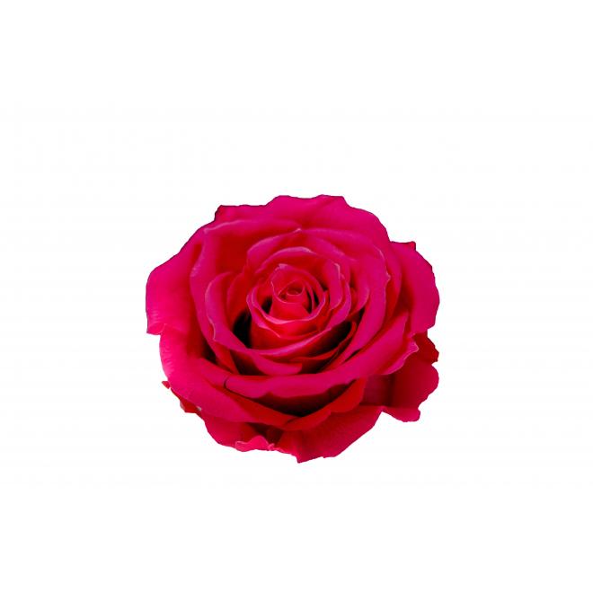 6 roses éternelle fushia