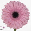 Gerbera rose (15 tiges)