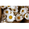 Rhodanthe séchée blanche (env 75gr.)