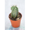 Lot de 3 mini cactus