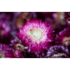 Têtes d'hélichrysum séché rose (50gr.)