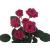 Rose branchue fushia (10 tiges)