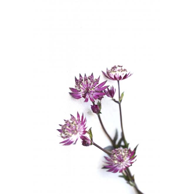Astrance prune (10 tiges)