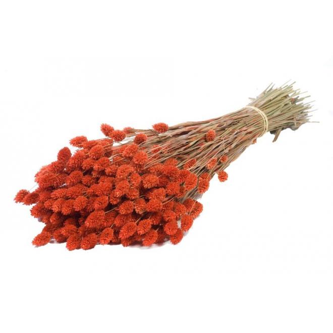 Phalaris séché orange (env 100gr.)