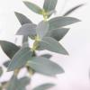 Eucalyptus (200 gr.environ) - feuillage - parvifolia