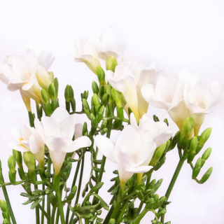 Freesia blanc (10 tiges)