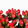 Hypéricum rouge - France Fleurs