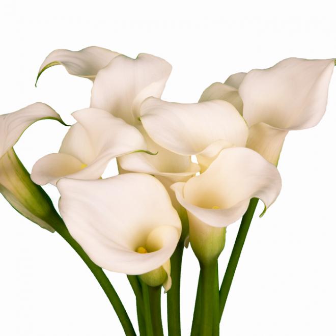Calla blanc - France Fleurs