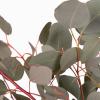 Eucalyptus populus (200 gr.environ) - feuillage livraison rapide