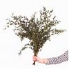 Eucalyptus (200 gr.environ) - feuillage - vue rapprochée