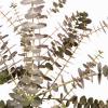 Eucalyptus baby blue (200 gr.) - feuillage