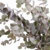 Eucalyptus cinerea (200 gr.) - feuillage